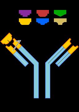 Los anticuerpos presentes en los linfocitos T reconocen los antígenos extraños para eliminar amenazas en nuestro organismo