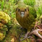 kakapo: El extraño loro lechuza