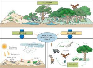 Diagrama esquemático de un ecosistema tipo que puede encontrarse en cualquier libro de texto. El ecosistema es la resultante de la interacción entre biotopo (condiciones ambientales y factores abióticos) y la biocenosis (los organismos que viven, se reproducen e interactúan con el biotopo).