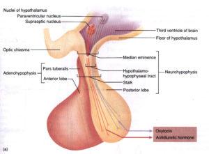 La adenohipófisis se corresponde con el lóbulo anterior de la glándula hipofisaria. En ella se han identificado 5 tipos celulares: células somatotropas, mamótropas, corticotropas, gonadotropas y tirotropas. Cada uno de estos tipos de células se encarga de liberar diferentes hormonas.
