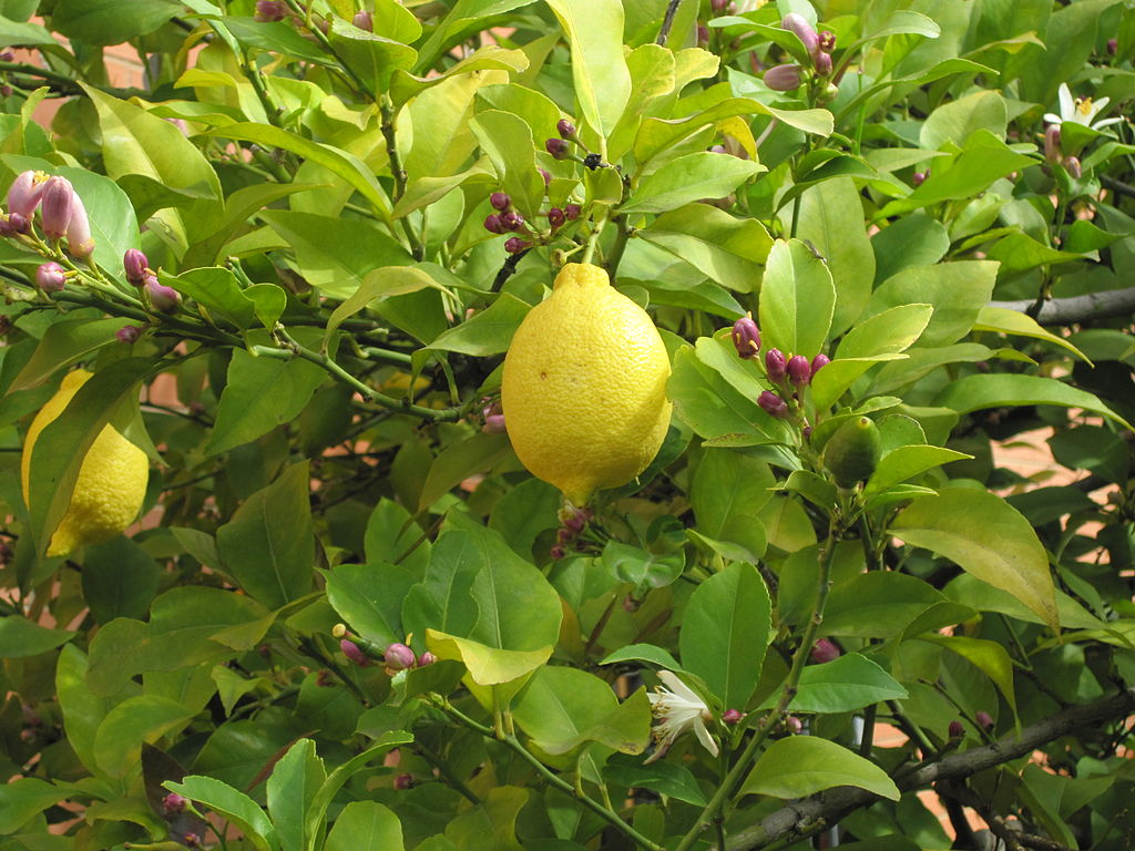 perejil limon