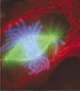 Anafase temprana al microscopio de fluorescencia