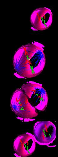 Pasos de la división celular por John Schmidt (JWSchmidt)