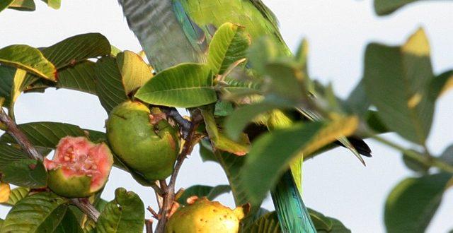 Cotorra argentina comiendo fruta.