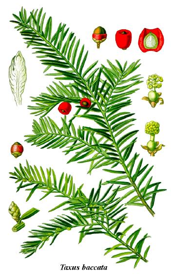Taxus baccata ficha especie