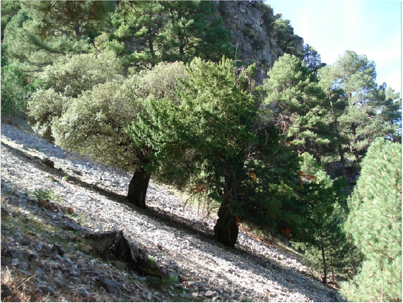 Taxus baccata - El tejo