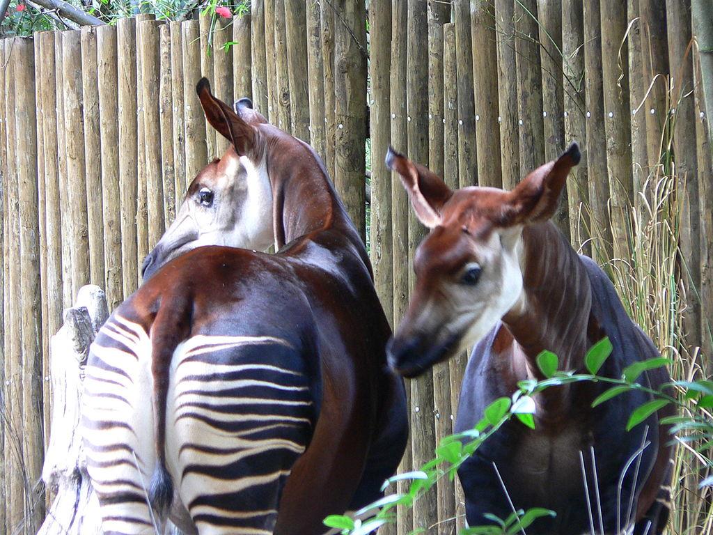 Pareja de Okapis